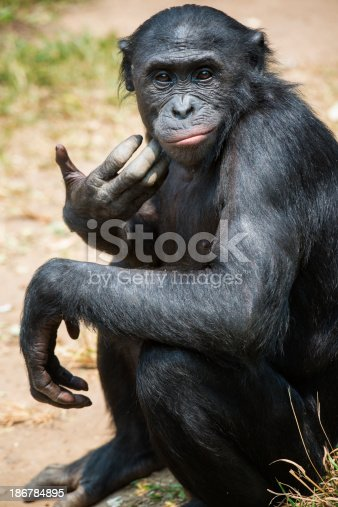 Portrait of a Bonobo (Pan paniscus). The Bonobo is one of the great apes (as well es Gorilla, Chimpanzee and Orang Utan). In former times Bonobos were also called pygmy chimpanzee.