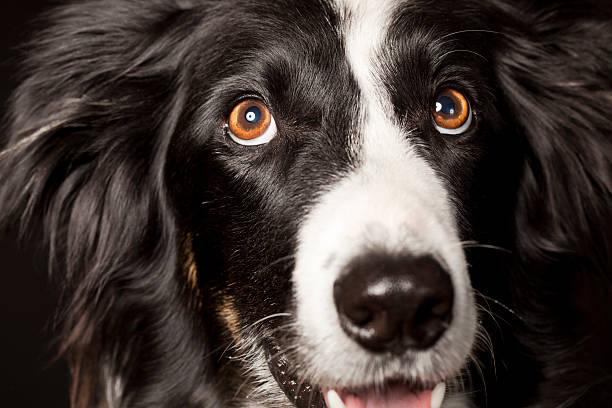 porträt von border-collie - hundeaugen stock-fotos und bilder
