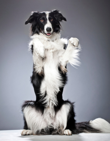 A dog of the type: Border Collie