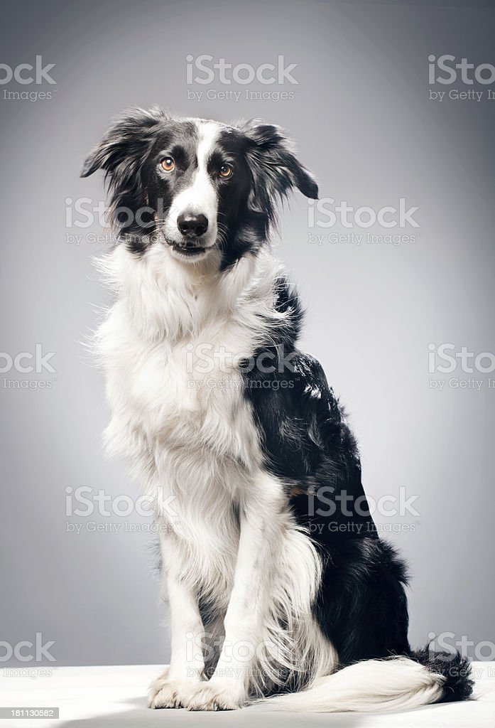 Portrait of a Border Collie royalty-free stock photo