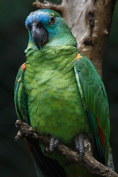 Porträt von einem brasilianischen Papagei – Foto