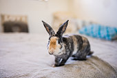This is a photograph of a rescued brindle colored pet bunny rabbit looking  at the camera while sitting on a bed at home.