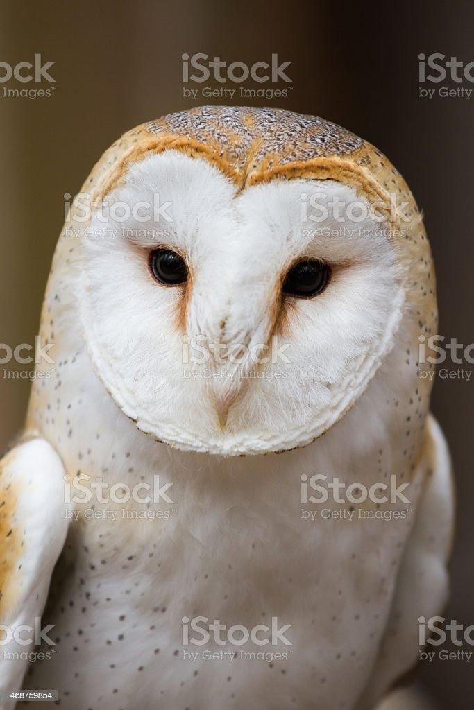 Portrait of a British Barn Owl stock photo