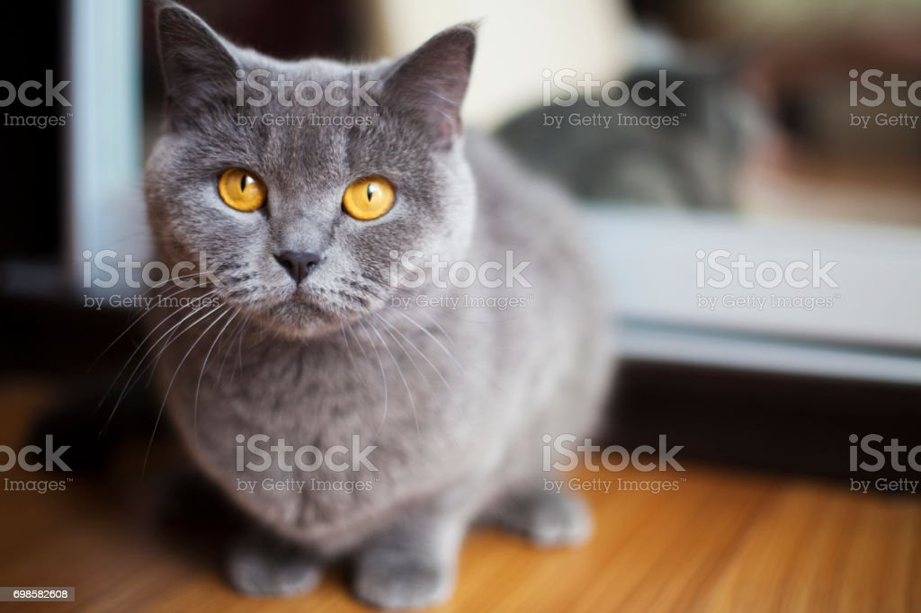 Portrait d'un chat british shorthair - Photo
