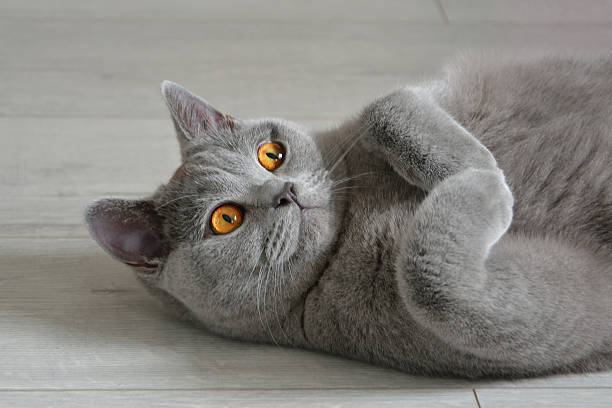 Portrait of a british shorthair cat with expressive orange eyes. stock photo
