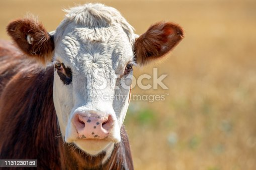 A white-faced hereford steer looks up from grazing in a field in summer