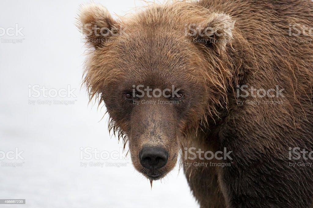 Portrait of a brown bear closeup stock photo