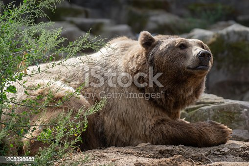 istock Portrait of a brown bear resting 1208398653