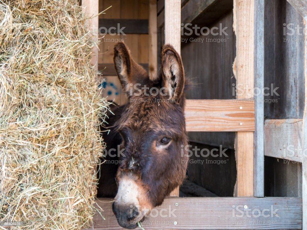 Porträt von einem braun-Esel im Stall – Foto