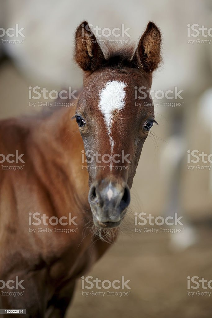 Portrait of a brown foal. royalty-free stock photo