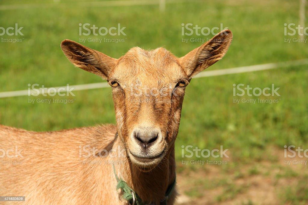 Portrait d'une brune de chèvre. - Photo