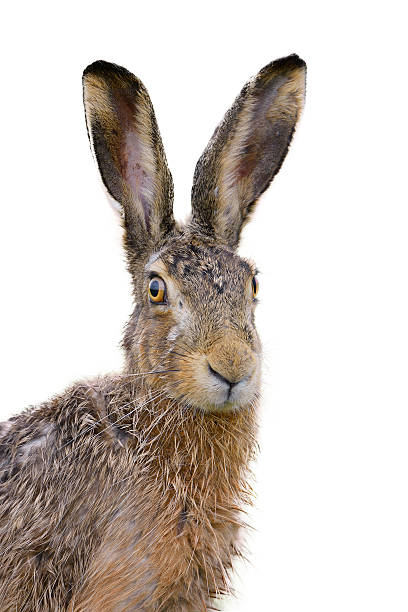 Portrait of a brown hare who looks slightly wet stock photo