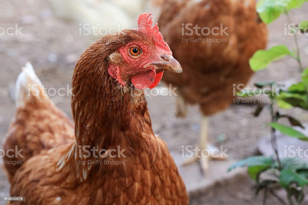 Portrait of a brown hen at the farm stock photo