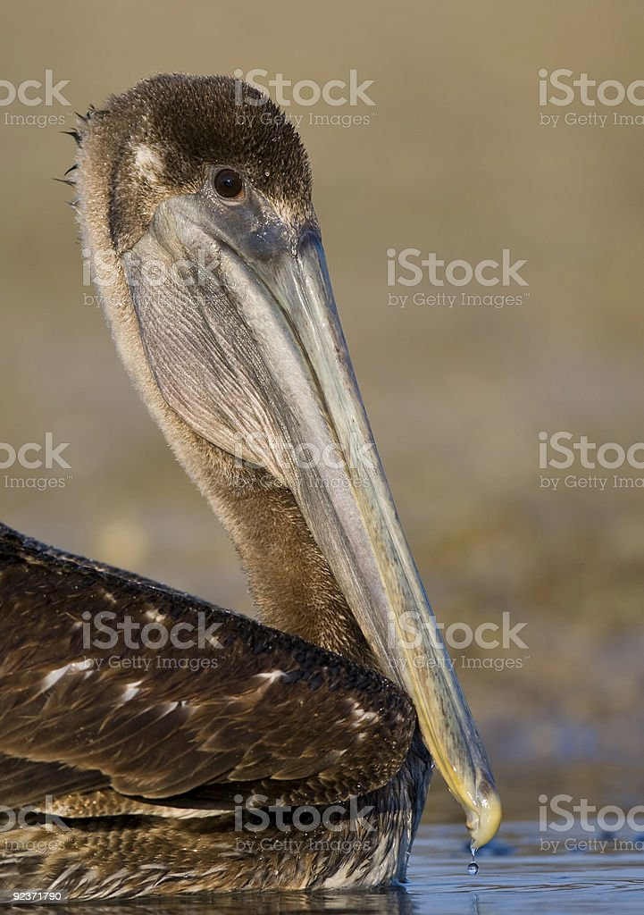 Portrait of a Brown Pelican royalty-free stock photo