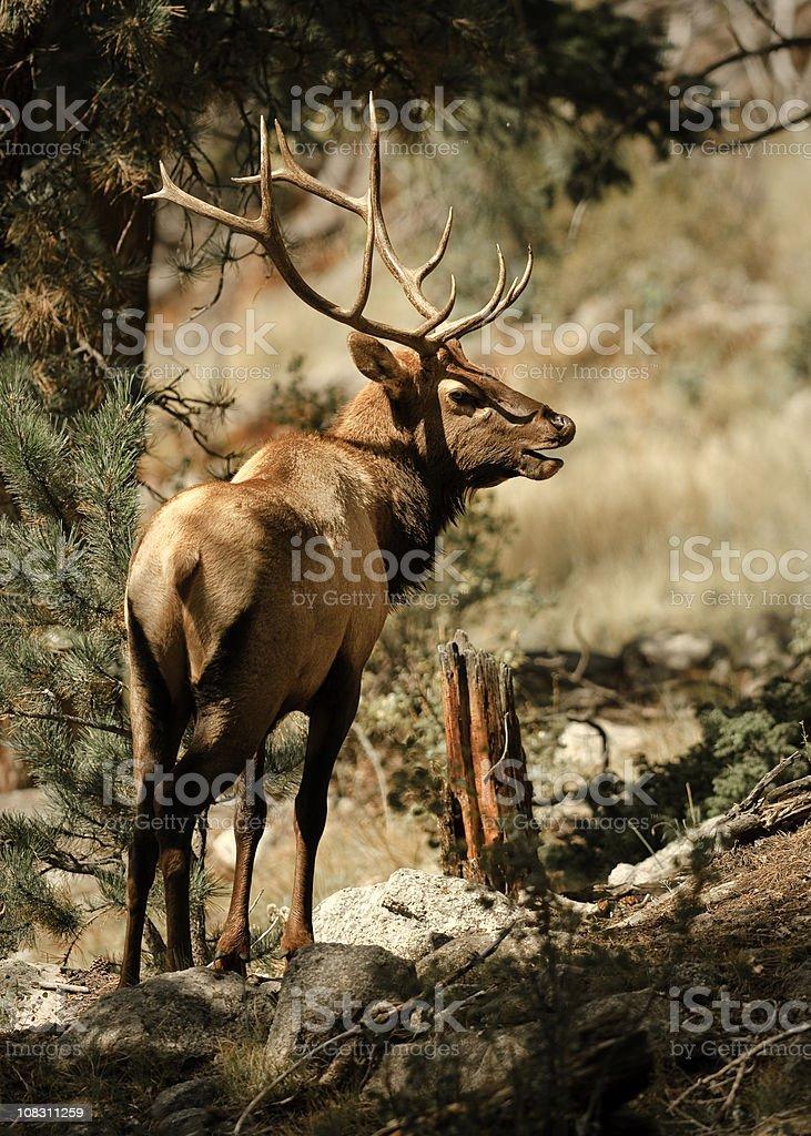 Portrait of a Bull Elk royalty-free stock photo
