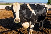 Bull being fed hay on a farm