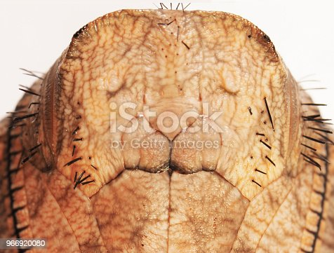 istock A portrait of a butterfly pupa, giant owl Caligo, isolated on white background. 966920080
