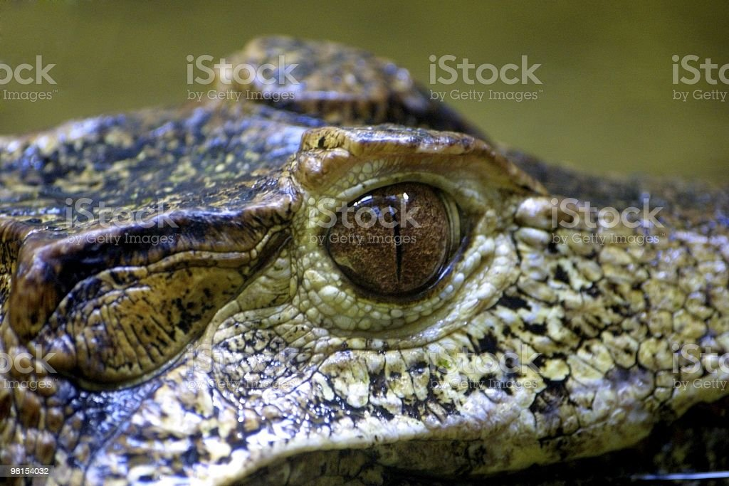 Portrait of a caiman royalty-free stock photo