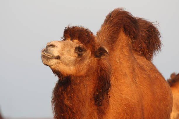 Porträt von einem Kamel – Foto