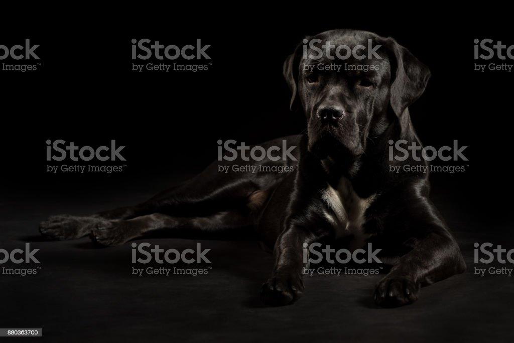 Porträt Einer Hunderasse Cane Corso Auf Einem Schwarzen Hintergrund