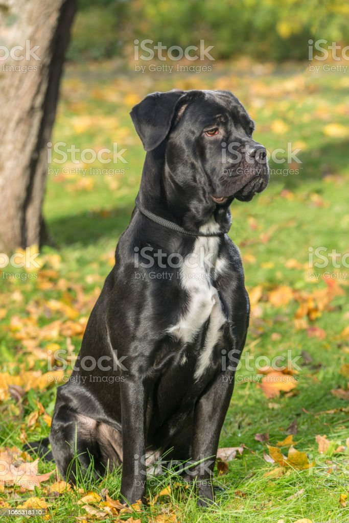 Portrait Of A Cane Corso Dog Breed On A Nature Background Dog