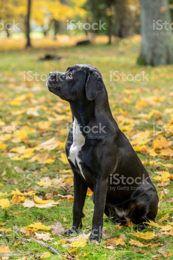 Retrato De Una Raza De Perro Cane Corso En Un Fondo De Naturaleza