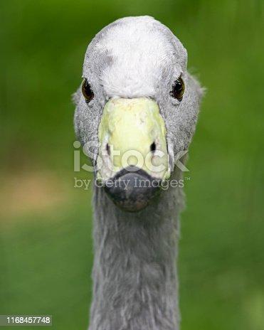 Portrait of a Cape Barren Goose