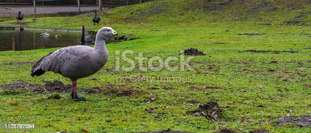 portrait of a cape barren goose standing on the water side, waterbird from the coast of australia