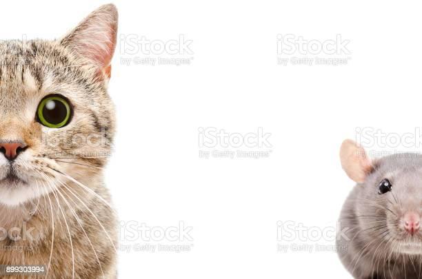 Portrait of a cat and rat half face picture id899303994?b=1&k=6&m=899303994&s=612x612&h=ck3lguoqxxvn098cvjzwg0avsq runhbmjv okxkxzg=