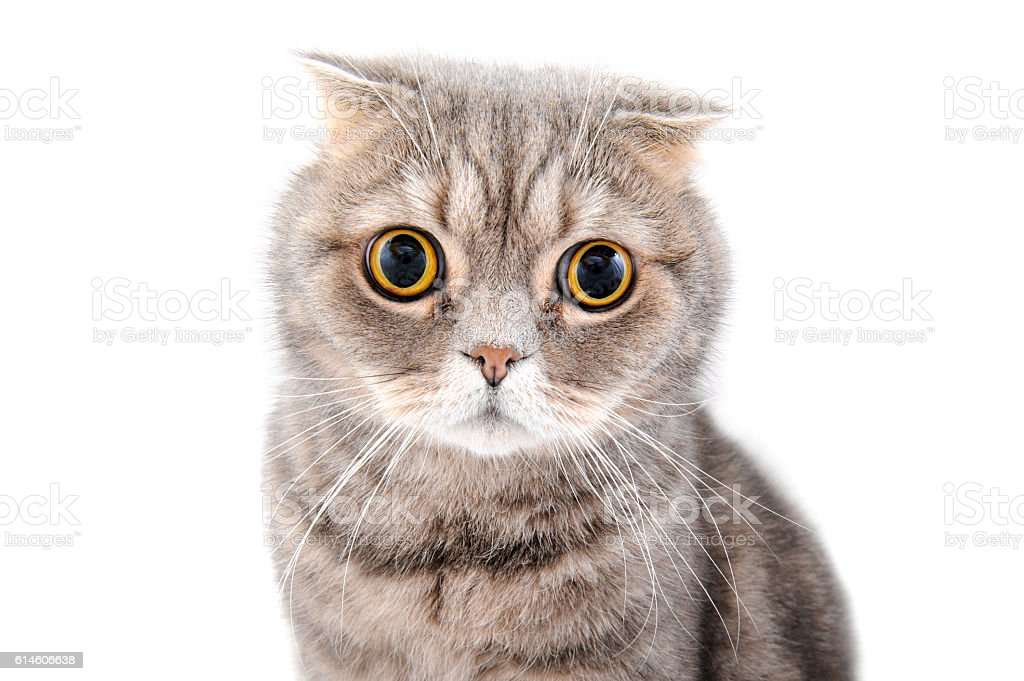 Portrait of a cat close-up. Breed Scottish Fold. stock photo