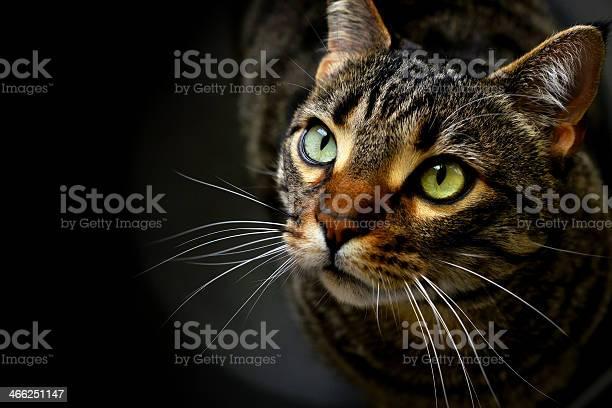 Portrait of a cat on black picture id466251147?b=1&k=6&m=466251147&s=612x612&h=8wdzjnxsipceb yxwjk66m acso0tfcjwpiasimxax4=