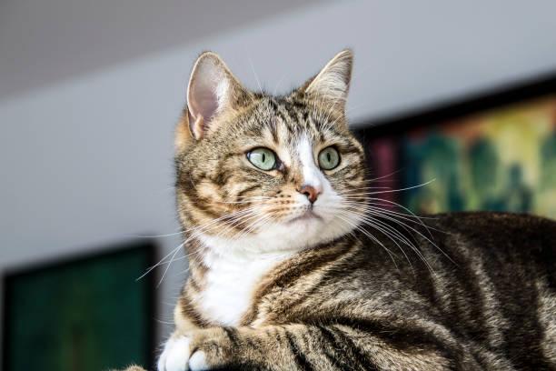 Portrait of a cat picture id1065230410?b=1&k=6&m=1065230410&s=612x612&w=0&h=elzj6bo9e3ufsiskwh20ur1tdprfnvbaiyfuz5 dsau=