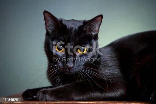 istock Portrait of a cat 174846251