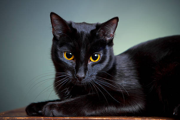 Portrait of a cat picture id174846251?b=1&k=6&m=174846251&s=612x612&w=0&h=mpcyv8flpvdecoxww7nypjapygfyl mutbny6qxz09g=