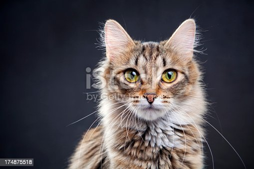 Portrait of a cat on a dark background