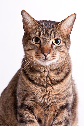 A tabby house cat, isolated on white, stares at the camera.