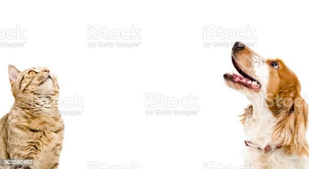 Portrait of a cat scottish straight and dog russian spaniel picture id903592482?b=1&k=6&m=903592482&s=612x612&h=anwjavndxkp0csyuwr6rkweyp1qf t8ooorznnnwj1q=