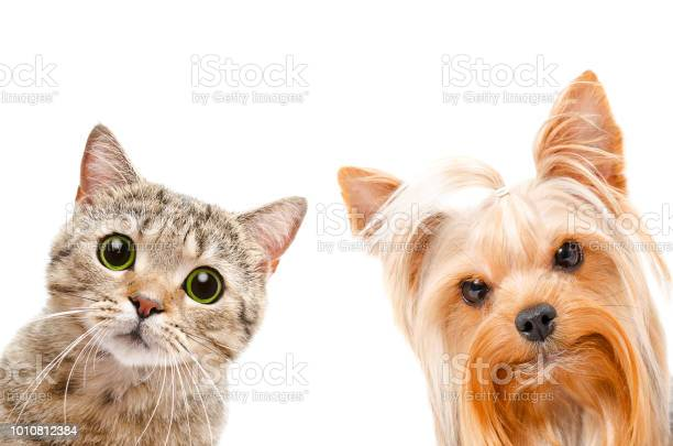 Portrait of a cat scottish straight and yorkshire terrier picture id1010812384?b=1&k=6&m=1010812384&s=612x612&h=d7544x1b kuuuecvrew950duok6zcpk2doqepcdr90i=