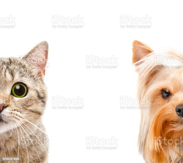 Portrait of a cat scottish straight and yorkshire terrier together picture id926092698?b=1&k=6&m=926092698&s=612x612&h=9e0ap plyh62amcd2hucnwgn2cia7dpf0ta5zzqnfra=