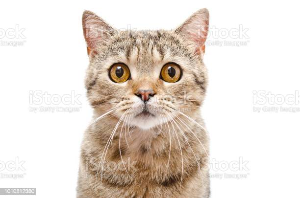 Portrait of a cat scottish straight closeup isolated on white picture id1010812380?b=1&k=6&m=1010812380&s=612x612&h=jabre632i4rq5d93ly97rtb2zirgcgubgb0cc q3hdo=