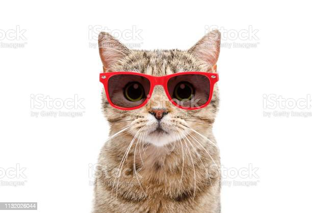 Portrait of a cat scottish straight in red sunglasses isolated on picture id1132026044?b=1&k=6&m=1132026044&s=612x612&h= qkizxp0gg3jbiophzsensqsrahst2zpyx1qxn2vtke=