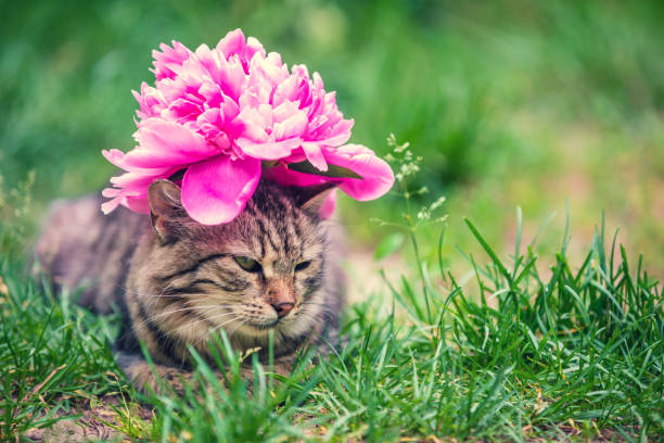 Portrait of a cat with a peony flower on her head lying in the grass picture id936311052?b=1&k=6&m=936311052&s=612x612&w=0&h=q84tfcwqo3fbyp1ceg3gvqcjm7px3yn gu8rlb n2po=