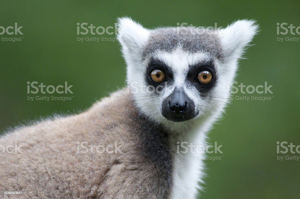 portrait of a catta lemur stock photo