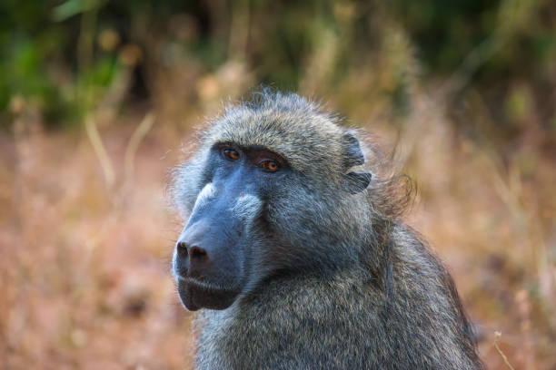 Portrait of a Chacma baboon monkey in the Chobe National Park, Botswana stock photo