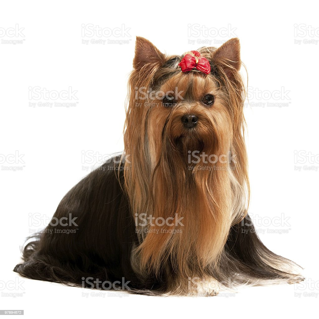 Portrait of a charming yorkshire terrier royalty-free stock photo