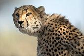 A Cheetah in thick bush