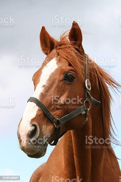 Portrait of a chestniut stallion picture id526038687?b=1&k=6&m=526038687&s=612x612&h=s9o7dwny8fkizaaectnc8 l wpvt9lwjj2yfodlzqaq=