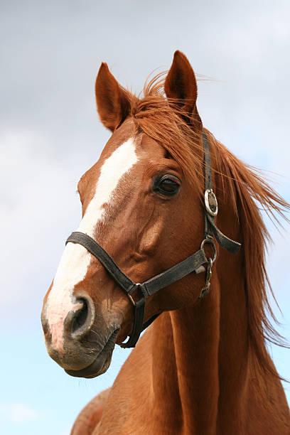 Portrait of a chestniut stallion picture id526038687?b=1&k=6&m=526038687&s=612x612&w=0&h=cqqefqxz2mzwzvf0hxexi66sybeyckafc3xr3wf7g8c=