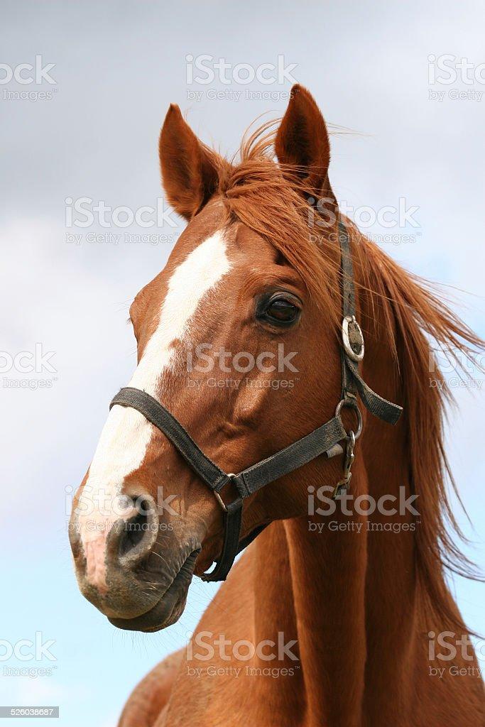 Portrait of a chestniut stallion stock photo