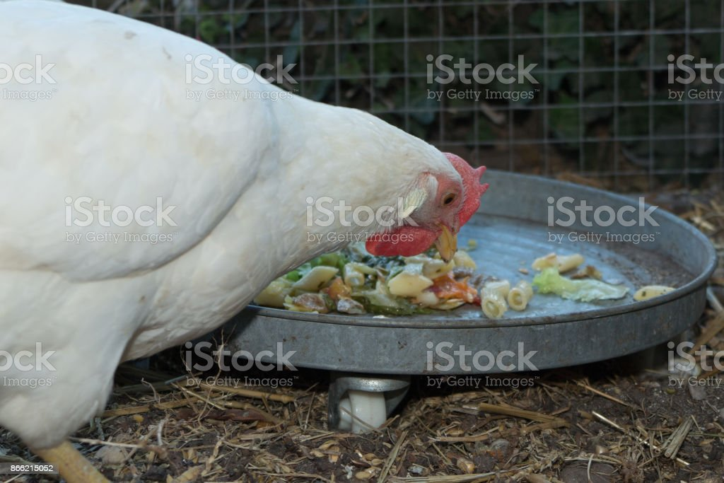 Portrait of a chicken in a henhouse at the bottom of the garden house stock photo